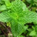 Δυόσμος, Mentha viridis,