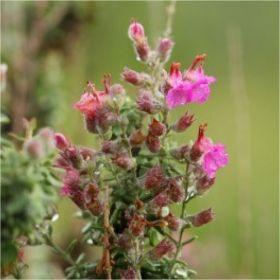 Θυμάρι, Thymus vulgaris, θύμος