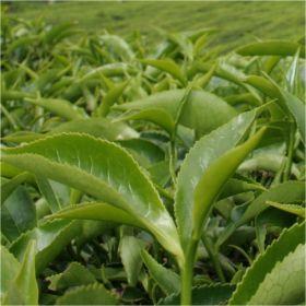 πρασινο τσαι - green tea
