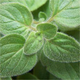 Ριγανη, Origanum vulgare