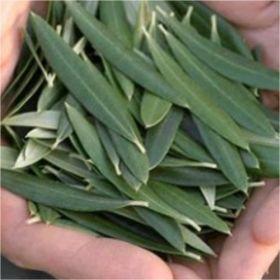 Φύλλα Ελιάς
