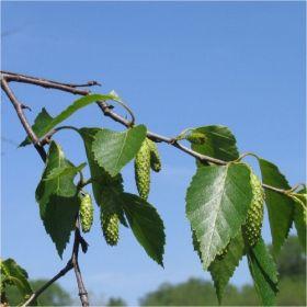 σημυδα- betula